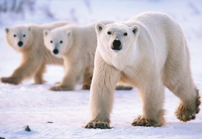 Фотогалерея: Белый медведь